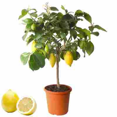 Zitronen-Stamm 20 cm Topf
