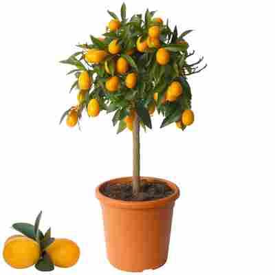 Kumquat-Stamm 20 cm Topf