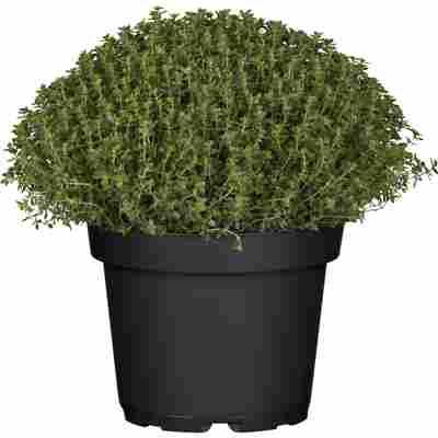 Thymian Busch grün 18 cm Topf