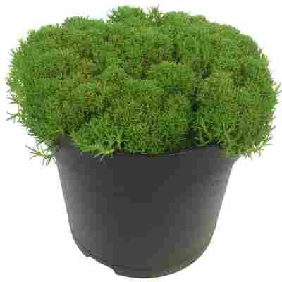 Knäuelkraut Match & Moss 'Pine Green®' 13 cm Topf