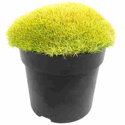 Sternmoos Match & Moss 'Lime Green®' 13 cm Topf