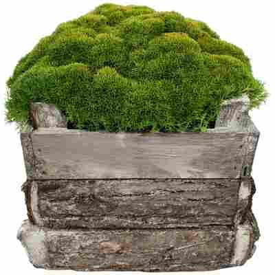 Neuseeländer Knäuel Match & Moss 'Forest Green' 13 cm Holzkiste