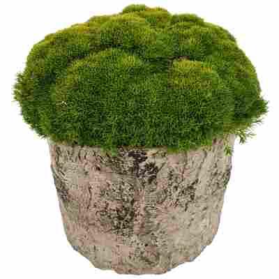 Neuseeländer Knäuel Match & Moss 'Forest Green' 13 cm Topf in Holzoptik