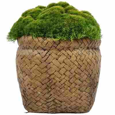 Neuseeländer Knäuel Match & Moss 'Forest Green' 13 cm Keramiktopf