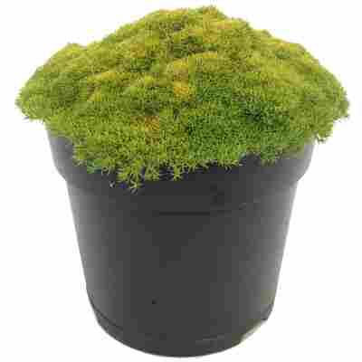 Neuseeländer Knäuel Match & Moss 'Forest Green' 13 cm Topf