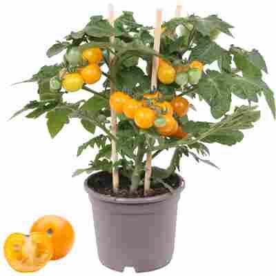 Cherrytomate mit Früchten, gelb, 14 cm Topf