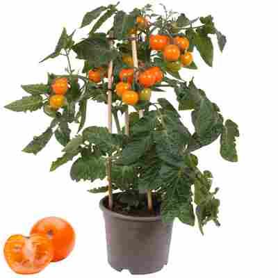 Cherrytomate mit Früchten, orange, 14 cm Topf