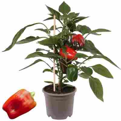Paprika mit Früchten, rot, 14 cm Topf