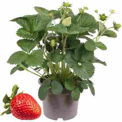Erdbeere 'Delizz' mit Früchten 14 cm Topf