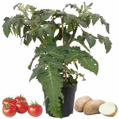 Tomate-Kartoffel 'Potatom' 13 cm Topf
