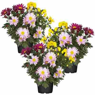 Chrysanthemen-Trio 12 cm Topf, 3er-Set