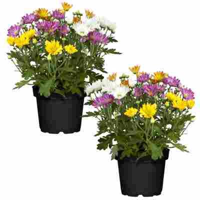Chrysanthemen-Quattro 12 cm Topf, 3er-Set