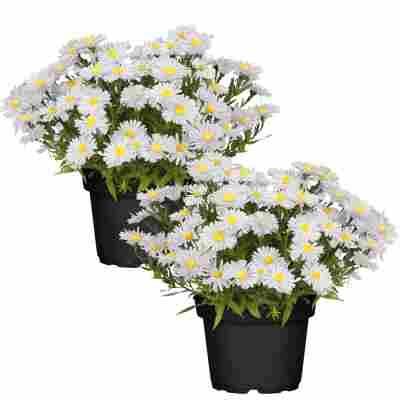 Herbstaster weiß 13 cm Topf, 2er-Set