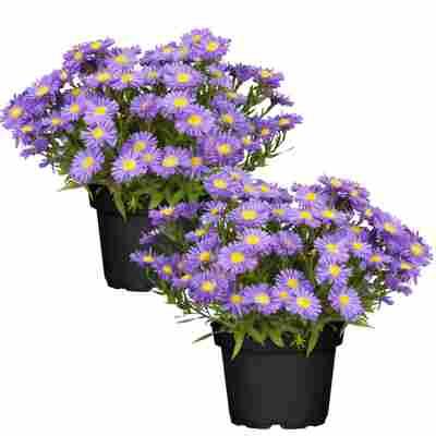 Herbstaster violett 13 cm Topf, 2er-Set