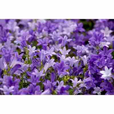 Köcherblume 'FloriGlory' Trio verschiedene Farben 11 cm Topf