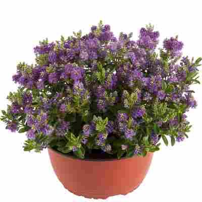 Strauch-Veronika 'All Blooms' violett 21 cm Schale