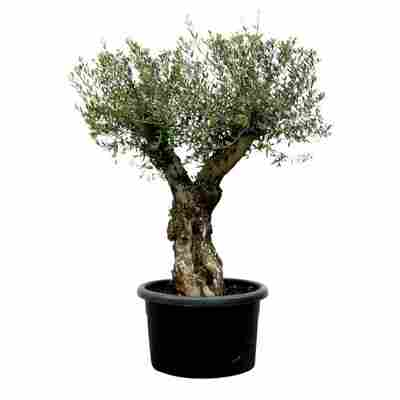 Oliven-Stamm 10 Jahre 180 cm, 60 cm Topf
