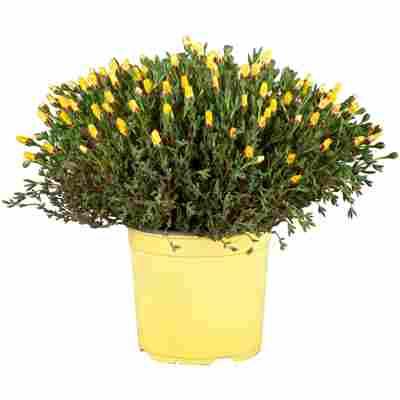 Mittagsblume verschiedene Farben 18 cm Topf