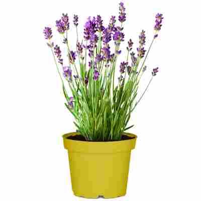 Lavendel nützlingsfreundliche Sorten 13 cm Topf