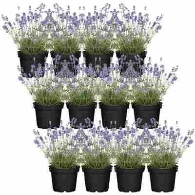 Lavendel im Quadratmeter 12er-Set, 14 cm Topf