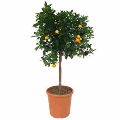 Orangen-Stamm 'Calamondin' 26 cm Topf