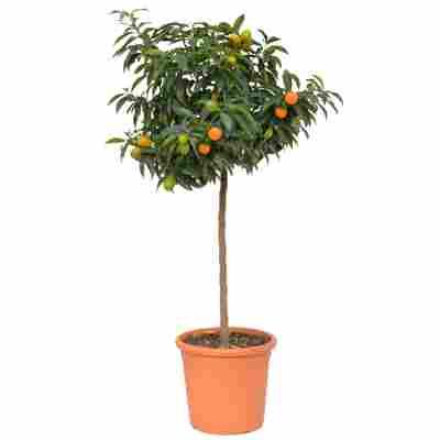 Kumquat-Stamm 26 cm Topf