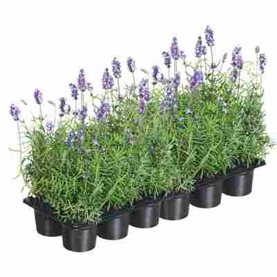 Lavendel blau für 1 m², 12er-Tray