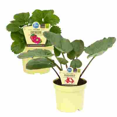 Bio-Erdbeere und Bio-Rhabarber 12 cm Topf, 3er-Set