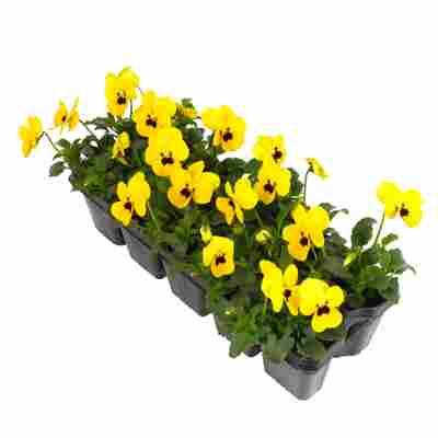 Hornveilchen gelb 10er-Tray