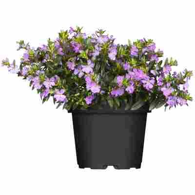 Köcherblümchen verschiedene Farben 10,5 cm Topf