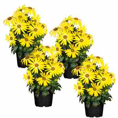 Kapkörbchen 'Sunny' gelb 12 cm Topf, 4er-Set