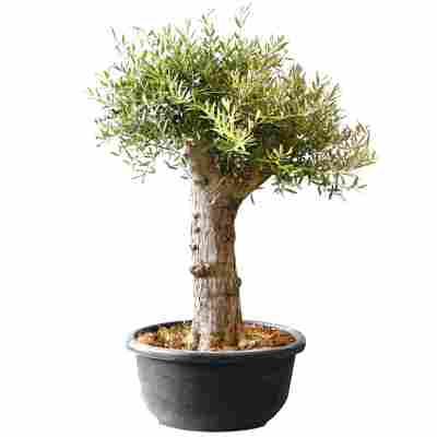 Oliven-Stamm 30 Jahre 170 cm, 90 cm Schale