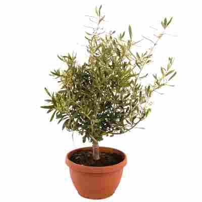 Oliven-Stämmchen 80 cm, 25 cm Schale