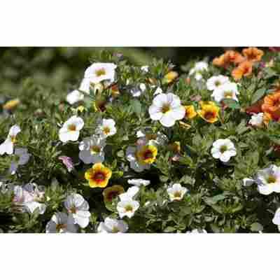 Beetpflanzen-Mix 'Confetti Garden' 12 cm Topf, 10er-Set