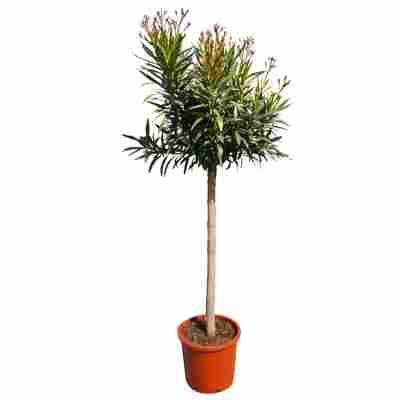 Oleander-Stamm rosa 180 bis 200 cm, 30 cm Topf