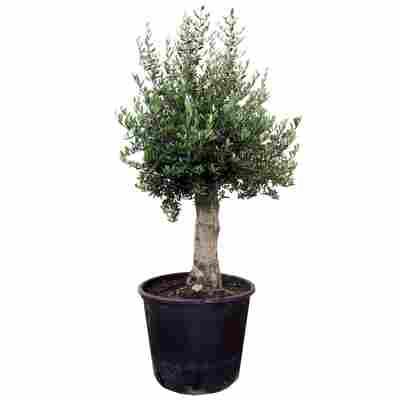 Oliven-Stamm 160 bis 190 cm, 70 cm Topf