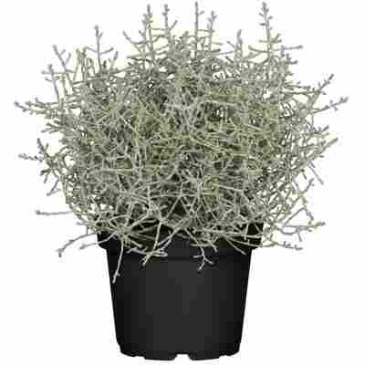 Stacheldraht-Pflanze 11 cm Topf