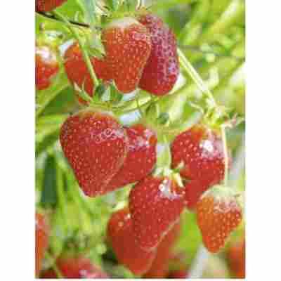 Erdbeere 'Elan', 11 cm Topf