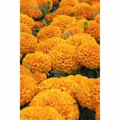 Studentenblume, 9 cm Topf, 3er-Set