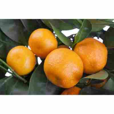 Citrus Spalier, 20 cm Topf