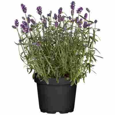 Lavendel Busch 18 cm Topf