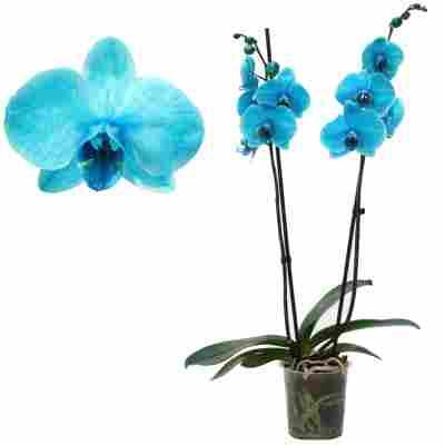 Schmetterlingsorchidee 'Royal Ocean Blue' 2 Rispen blau 12 cm Topf