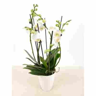 Weiße Schmetterlingsorchidee