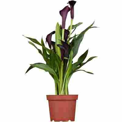 Zimmer-Calla violett, 13 cm Topf