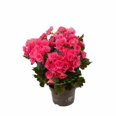 Begonie rosa, 13 cm Topf
