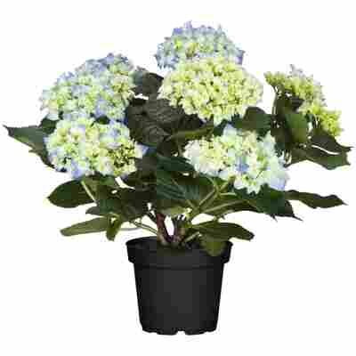 Hortensie blau 10,5 cm Topf