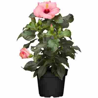 Zimmer-Hibiskus 'Long Life' rosa, 13 cm Topf