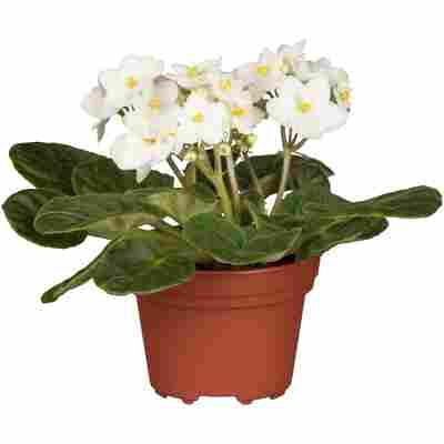 Usambaraveilchen weiß, 10 cm Topf