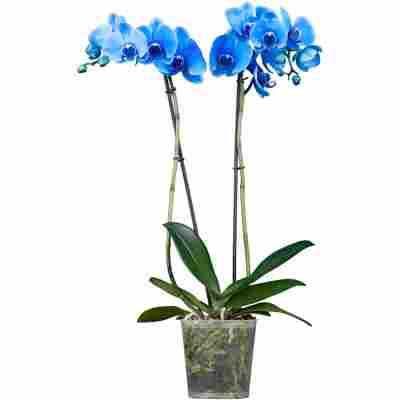 Orchidee; 12 cm Topf