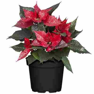 Fairtrade Weihnachtsstern rot Glitter mit 13 cm Topf